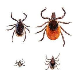 black-legged-tick-family