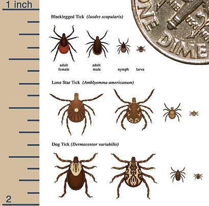 WHICH TICKS CARRY LYME DISEASE?