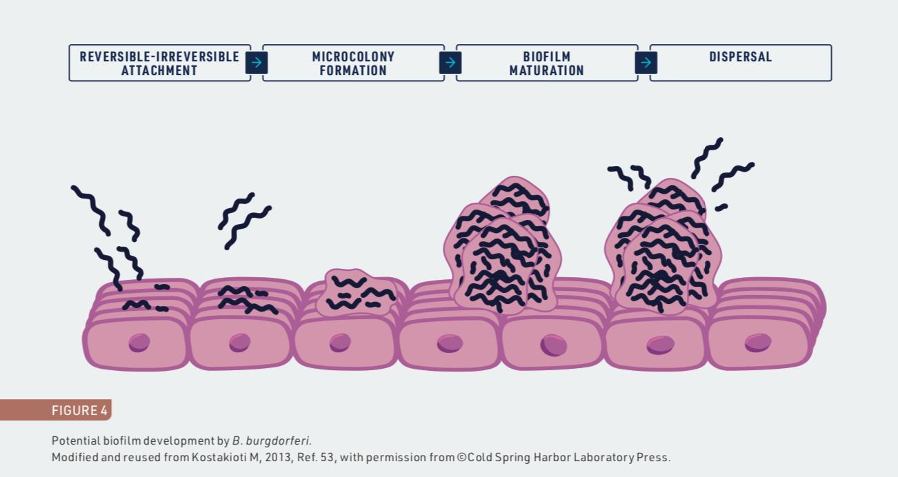 Potential biofilm development by B. burgdorferi